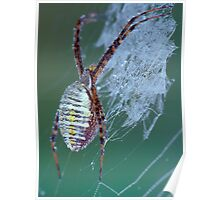 Dew Covered Spider Poster