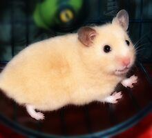 Pipi - the new hamster by George Parapadakis (monocotylidono)