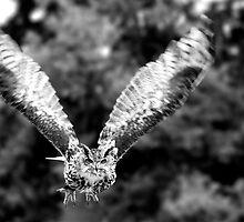 Long-eared owl by Owen Burke