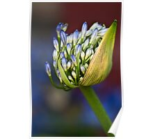 Agapanthus buds Poster
