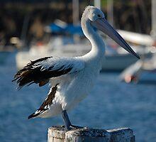 Pelican by David  Hall