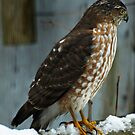 The Sharp-Shinned Hawk by Eva Saether