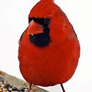 Male Cardinal  by Eva Saether