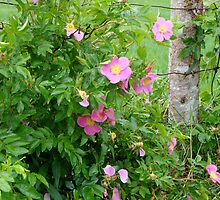 Wild Roses by Kimberlee Brent