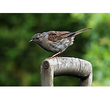 Dunnock on an old wooden garden fork handle. Photographic Print