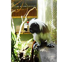 Cotton Topped Tamarin Photographic Print