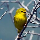 Yellow Warbler by Eva Saether