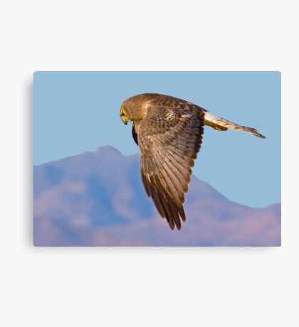Same Harrier Different Pose Canvas Print