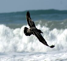 Spread your wings; So. Morro Bay, California, USA (594 Views 9/15/2011) by leih2008