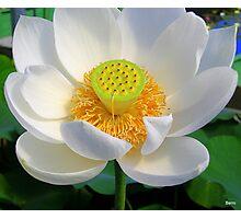 Peaceful Lotus Photographic Print