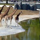 The giraffe family goes for a walk by bubblehex08
