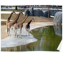 The giraffe family goes for a walk Poster