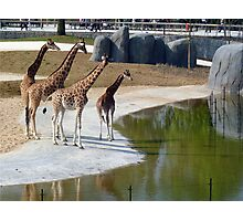 The giraffe family goes for a walk Photographic Print