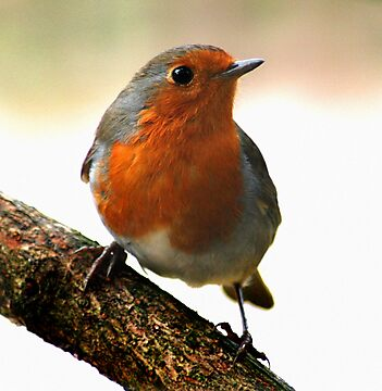 Robin by Geoff Carpenter