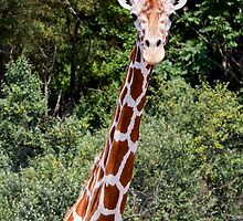 Giraffe Head and Shoulders by Kenneth Keifer