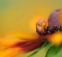 Rudbeckia revealed by Jacky Parker