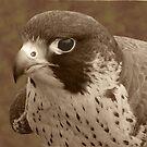 Peregrine Falcon by Bellavista2