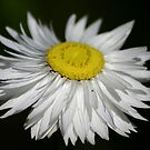 Everlasting Daisy by Erland Howden