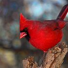 Northern Cardinal by Jerry E Shelton