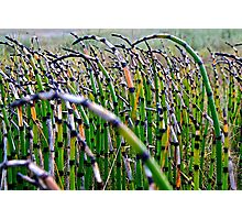 Horsetail Reeds Photographic Print