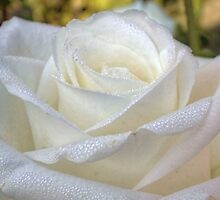 Close up of white rose 8 by AnnArtshock