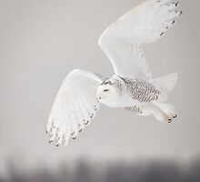 Snowy Owl In Flight  by Thomas Young