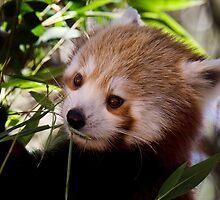 Red Panda.  by DaveBassett