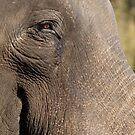 Indian Elephant by Steve Bulford