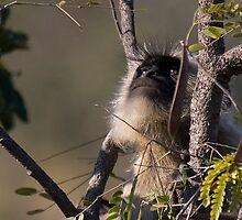 Langur Monkey Gazes by Steve Bulford