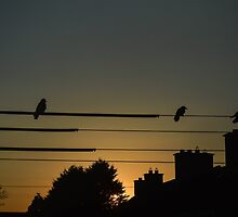 Birds on the wire by DamoMcc