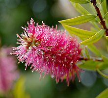 bottlebrush(1) by jim painter
