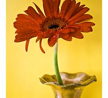 Red Gerbera by bnilesh