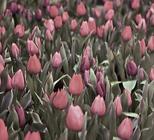 tulips and tulips by leonoel