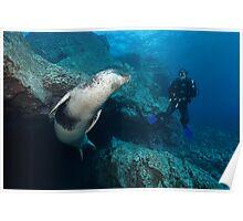 Mediterranean Monk Seal Poster