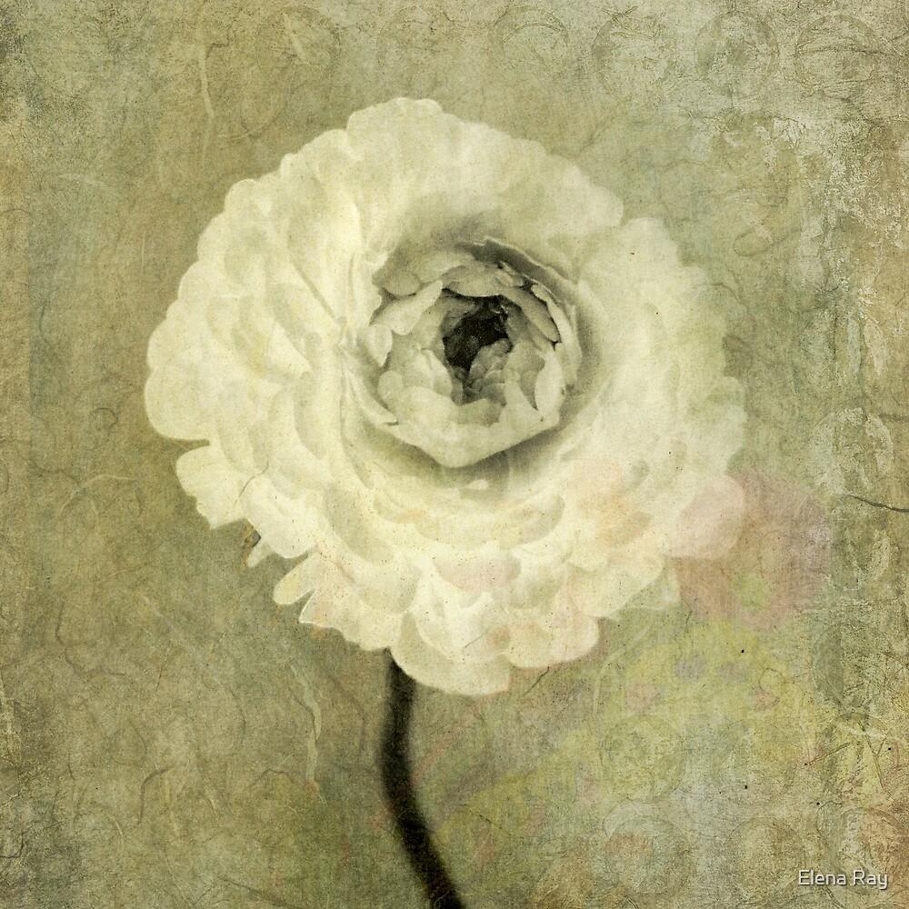 Ranunculus by Elena Ray