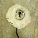 Ranunculus by Elena Ray