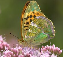 Silver Washed Fritillary Butterfly by Neil Bygrave (NATURELENS)