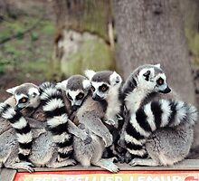 Lemur family by Catherine  Regan