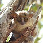 Mouse Lemur by Ollie de Brett