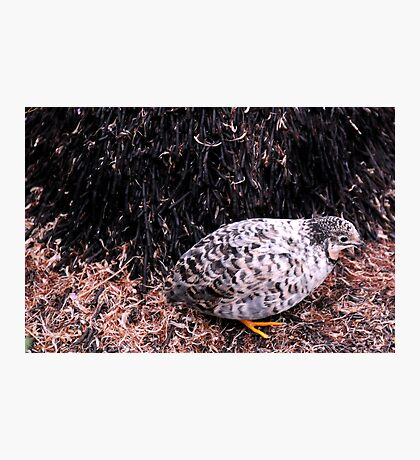 Button Quail Photographic Print