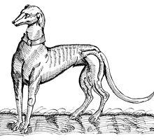 Greyhound Study by Havencroft2014
