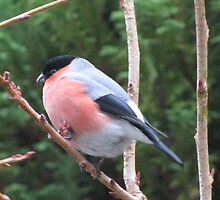 Bullfinch by jacqi