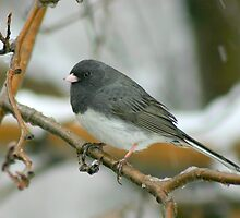 Slate colored Junco by whisperjo