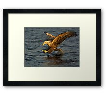 Sea eagle diving Framed Print