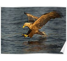 Sea eagle diving Poster