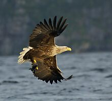 Sea eagle with fish by wildlifephoto
