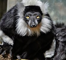 Black and White Ruffed Lemur by Savannah Gibbs