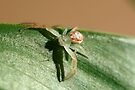 Flower Spider, Diaea evanida by Normf