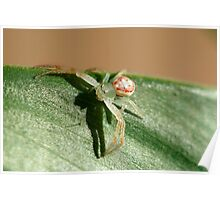 Flower Spider, Diaea evanida Poster