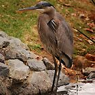 Great Blue Heron by MistyDawn